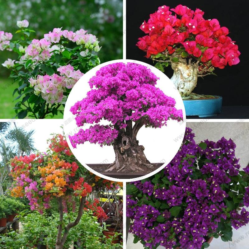 Plants sementes de flores bougainvillea spectabilis willd for Bougainvillea bonsai prezzo