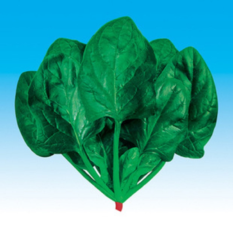 Hot big round leaf spinach seed – Beijing vegetable in large quantities concession 50 seed