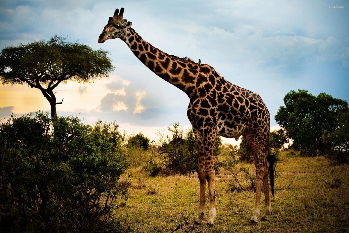 Girafe savane africaine nature animale paysage kc391 vivant chambre mur de la maison moderne art décor
