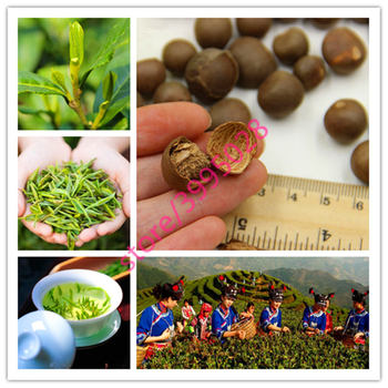 10 Pcs Chinese Green Tea Tree Bonsai For Home Garden Perennial Plants No Flowers Heirloom Sementes Not Camellia
