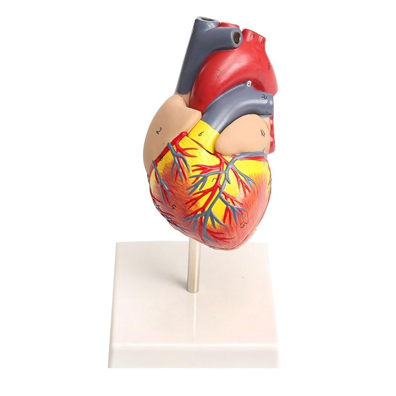 Anatomical Medical Larynx Model Human Heart Teaching Cardiac School ...