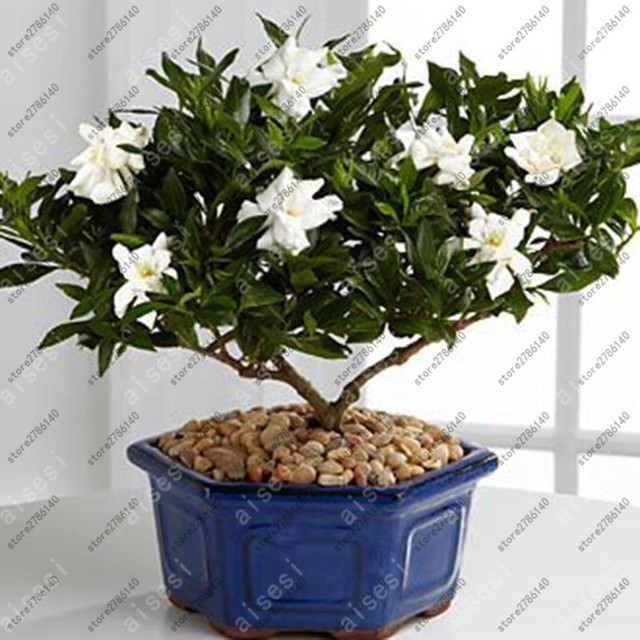 بونساي الغردينيا (الرأس الياسمين)-DIY المنزل حديقة أصائص زرع ، مذهلة رائحة و جميلة الزهور ل غرفة