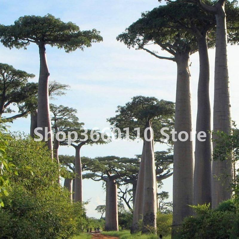 High quality Baobab Bonsai Piante Tree Rare Tropical Exotic Plant Garden Perennial Flowerpot Beautiful Huge Trunk Plants in Bonsai from Home Garden