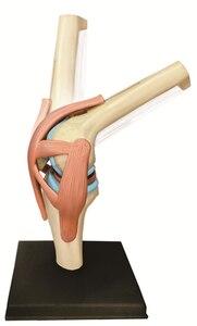 Image 3 - Modelo 4D Master de rodilla humana, modelo de Anatomía de órganos humanos, enseñanza médica, ciencia artesanal