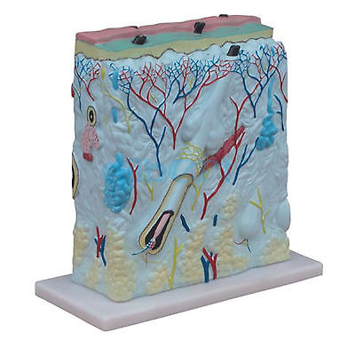 105X Human Cross Section Skin Block Clear Diaplay On the Base Anatomical Model skin block model 26 points displayed human skin anatomical model skin model