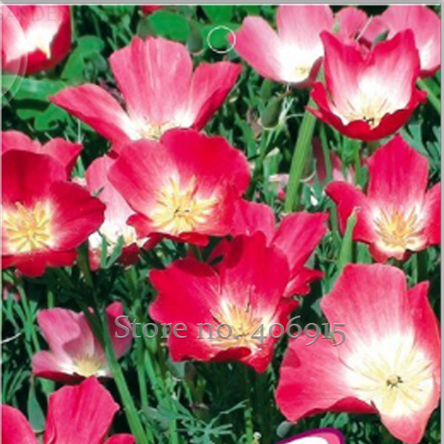 Buy California Poppy And Get Free Shipping On Aliexpress