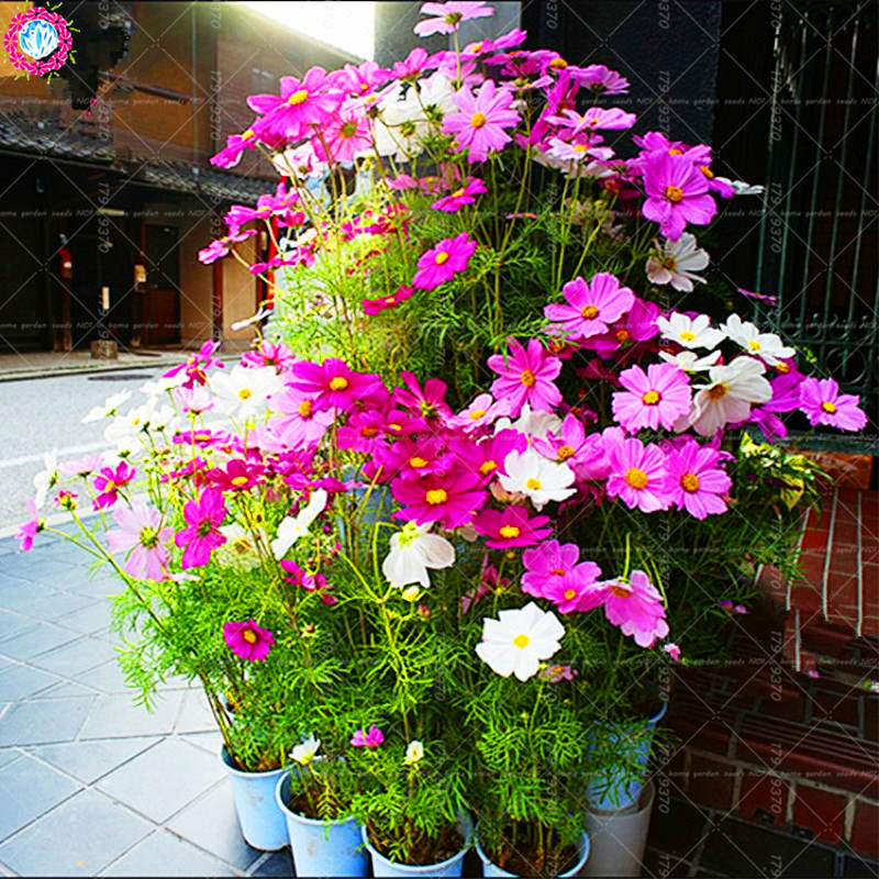 Detail Feedback Questions About 30pcs Mexico Cosmos Bonsai Flower