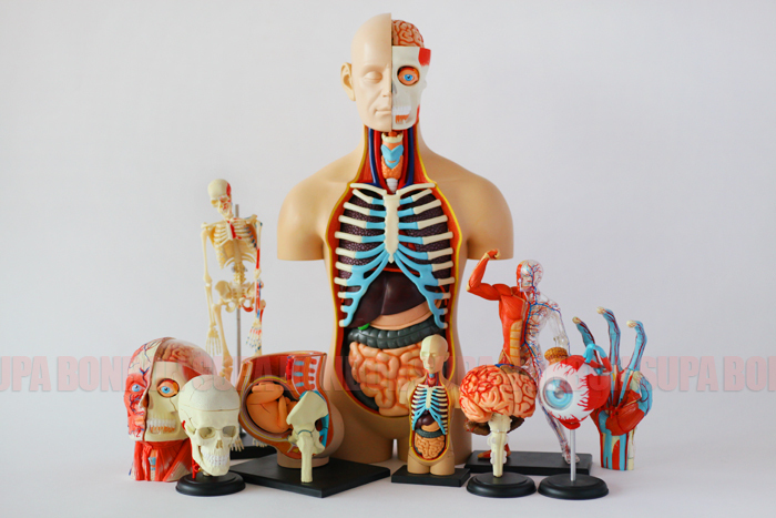 4D Master Human Body Structure Medical Model Educational Toy For Kids