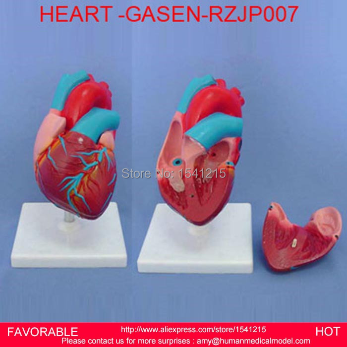 HEART ANATOMY VISCERA MEDICAL MODEL,MODEL OF CARDIAC CARDIAC ANATOMY CARDIOVASCULAR MODEL OF HUMAN HEART MODEL -GASEN-RZJP007 female pelvic fetal model nine months of pregnancy fetus uterine embryo development model fetal development model gasen sz017