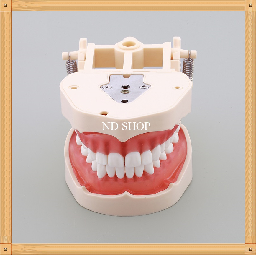 Removeable Dental Training Model /Standard Dental Teeth Model with Soft Gum/Adult Dental Standard Model with 32 Screw M8014 free shipping good quality dental soft gum teeth model with tougnetypodont w 32 removable teeth nissin 200 compatible