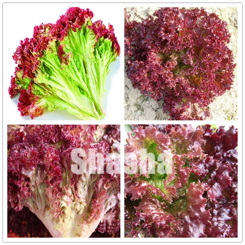 1000 Pcs Lettuce Bonsai Good Taste Easy To Grow Great Salad Dhoice DIY Home Garden Plant Vegetables Rich Vitamins Chinese Leaves