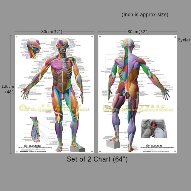 Giant Human Anatomical Chart 64Anatomy Coloring Poster AtlasMuscular System Skeleton Ecorche