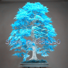 US Maple seed 50PCS rare powder blue mini bonsai seeds bonsai tree seeds Maple Seeds home garden plants