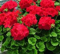unids hortensia rojo semillas belleza y fragancia las plantas del