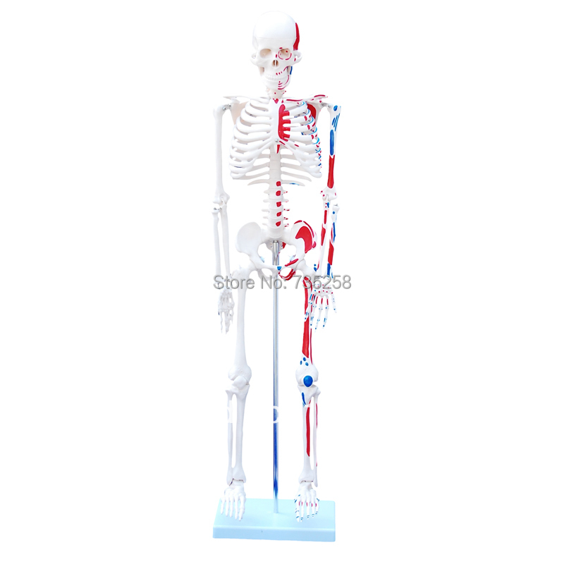 85cm Skeleton with Painted Muscles,Skeletal muscle shading model цены