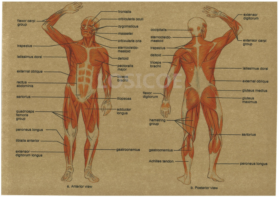 Ziemlich Menschliche Anatomie Und Physiologie Laborhandbuch 12 ...