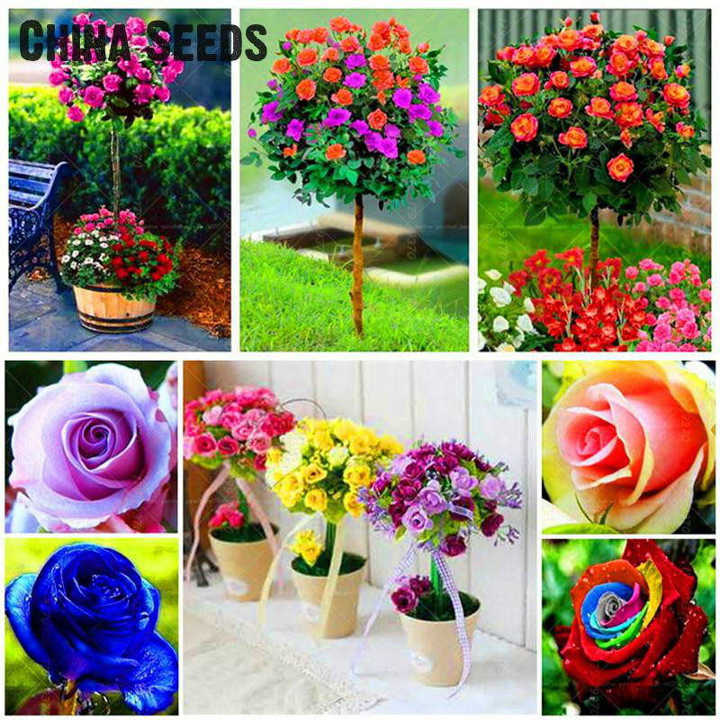 Buy 200pcs Bag Rare Mixed Colors Rose Seeds Rainbow Tree Flower Seeds Rare Rose