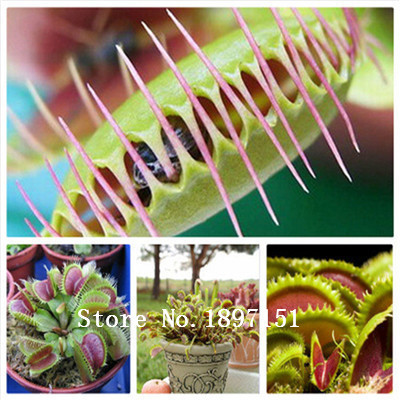 Big sale 200Pcs HOT Sale Potted Insectivorous Plant Seeds Dionaea Muscipula Giant Clip Venus Flytrap Seeds