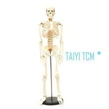 85 human skeleton 85 model human model