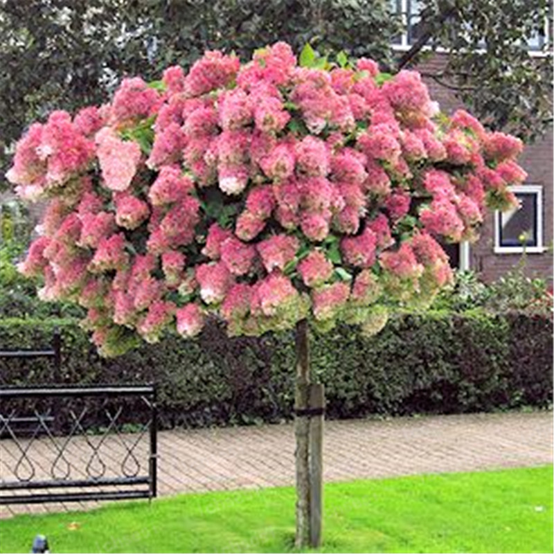 Image 2 - 20pcs/Cone hydrangea  bonsai perennial flower flores for wedding party plant for home and garden-in Bonsai from Home & Garden