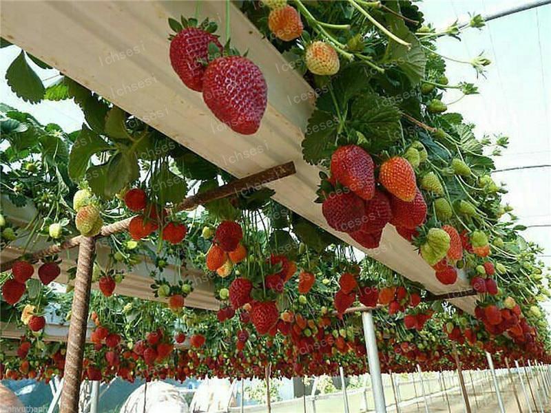 Image 2 - 500pcs/farmer Direct Selling Indoor Plants Strawberry bonsais Rare Color Strawberry bonsai Fruit bonsais for Garden Bonsai-in Bonsai from Home & Garden