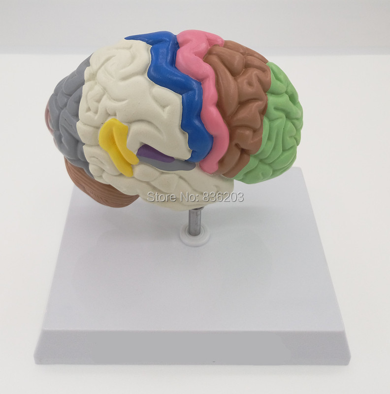 Groß Anatomie Und Physiologie Von Der Wissenschaft Zum Leben Fotos ...