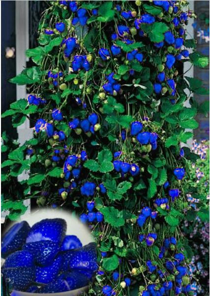 1000 unids/bolsa exótica azul de escalada árbol de fresa orgánica al aire libre de la fruta para jardín de casa de plantación
