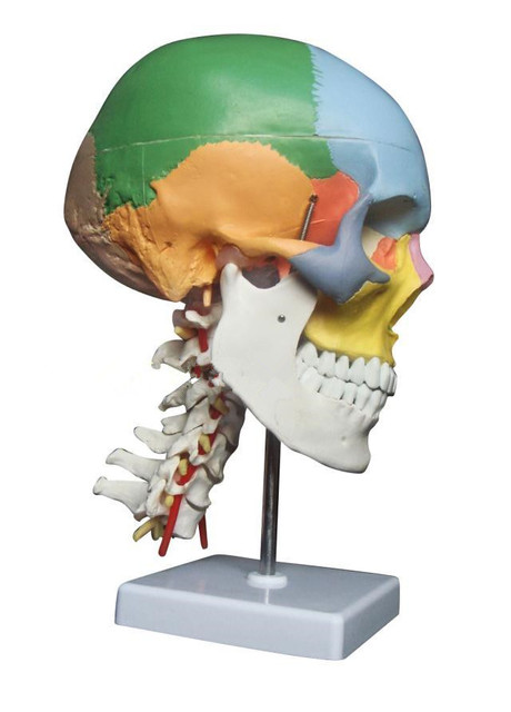 Life Size human anatomy skeleton anatomical model for sale skull ...