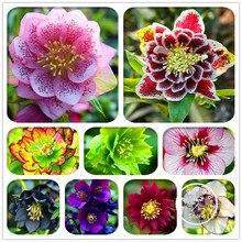 Самые низкие цены! 20 шт./упак. японский бонсай Морозник растения «сделай сам» для дома и сада
