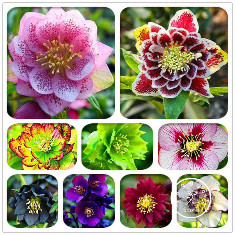 Lowest Price! 20 Pieces/Pack Japanese bonsai Potted Helleborus seeds DIY home garden