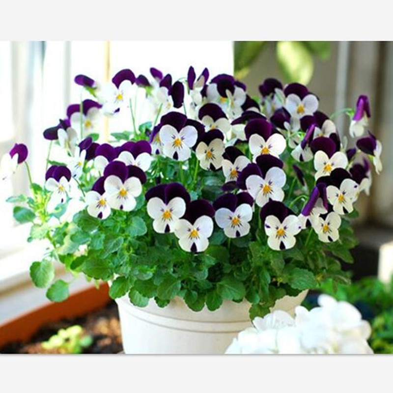 Buy 30 Seeds Pack Beautiful Pansy Seeds