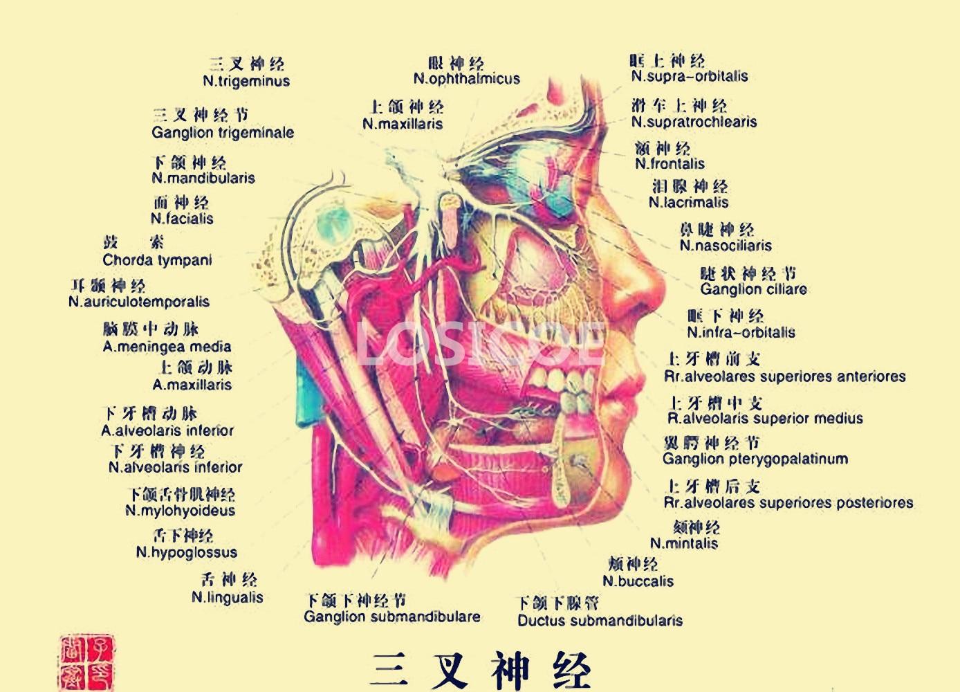 Excepcional Anatomía Del Buque Modelo - Imágenes de Anatomía Humana ...