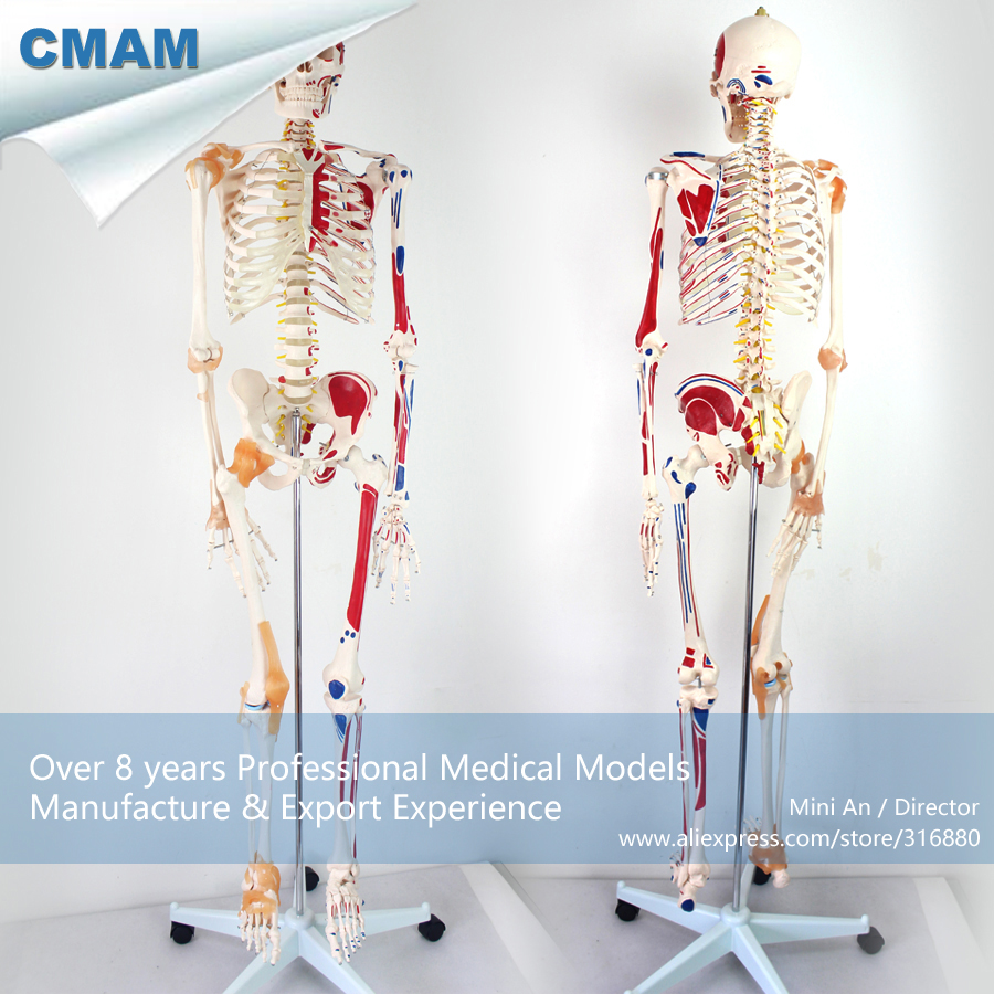 12363 CMAM-SKELETON03 170cm Human Skeleton Model w Ligament Muscle Point,  Medical Science Teaching Anatomical Models 12363 cmam skeleton03 life size professional medical skeleton with muscles and ligaments 170cm skeleton model
