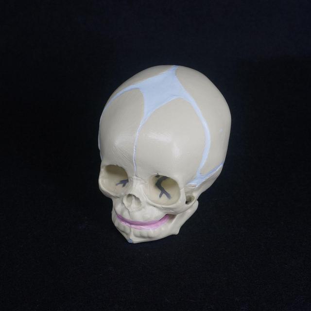 Human Fetal Baby Infant Medical Anatomical Skull Model For Art ...