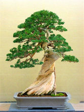 Best Selling 50 Pieces/Pack Juniper Plants Bonsai Tree Potted Office Purify The Air Absorb