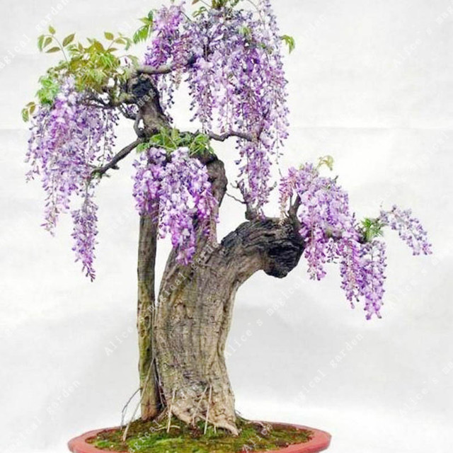 ZLKING 10pcs Wisteria Flower Bonsai Plants For Home Garden Super Natural Products Herbaceous Perennial Plants 2