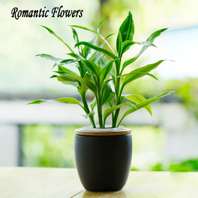 50 Particle/bag Lucky Bamboo Seeds, Indoor Potted Flower , Dracaena  Sanderiana Radiation Absorption Lucky Bamboo Plants Seeds In Bonsai From  Home U0026 Garden ...