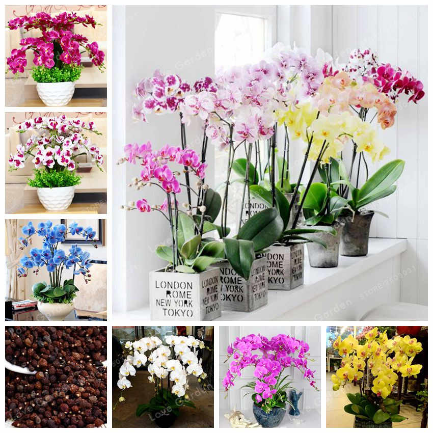 Orchid 100 Pcs Phalaenopsis Bonsai Perennial Flower Bonsai Home Garden Four Seasons Plants Bonsai Flowers Easy To Grow
