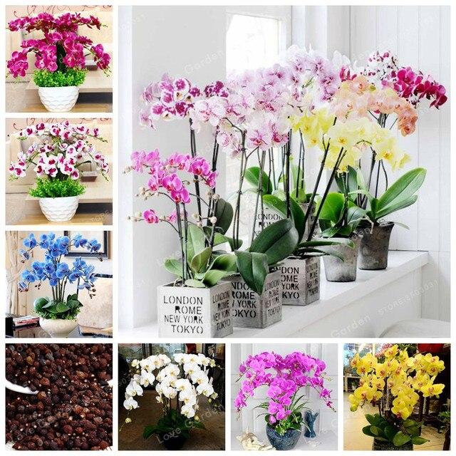 Orquídea 100 unids Phalaenopsis bonsái flor perenne bonsái hogar jardín cuatro estaciones plantas bonsái fácil de cultivar flores