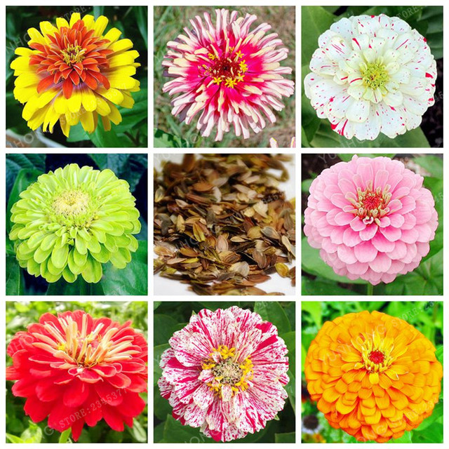 25 Colors Zinnia Bonsai Perennial Flowering Plants Potted Charming on