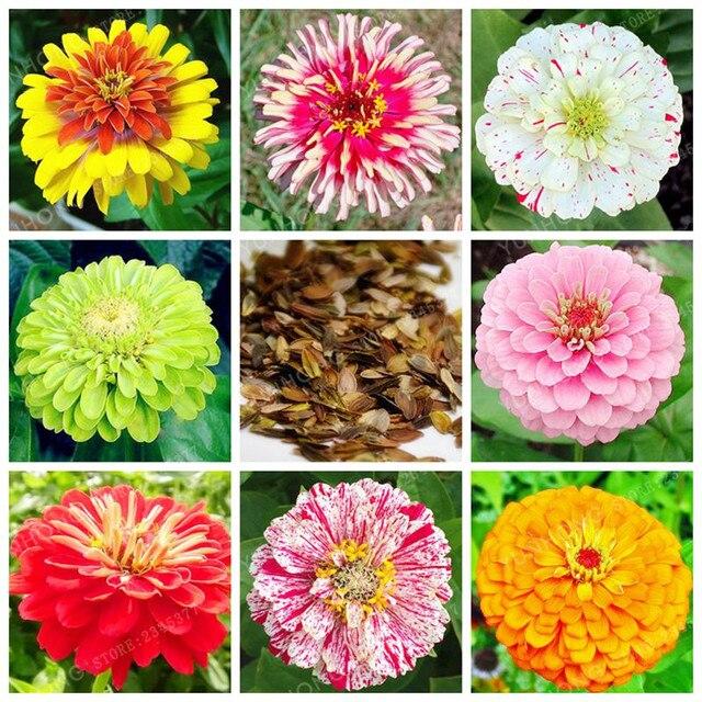 25 colori Zinnia Bonsai Perenne Piante da fiore In Vaso Cinese Charming Fiori Bonsai 100 pz/pacco Stunning Fiori Balcone