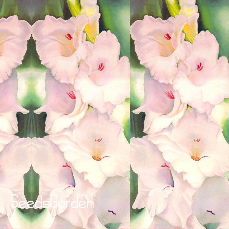 Grande Promoção! Sementes Pink Gladiolus Bulbos de Flores Sementes Flwer  Espada Orquídea Bonsai Plantas Para Home   Garden 100 Pçs lote,   G06KG2 504d19f2a0