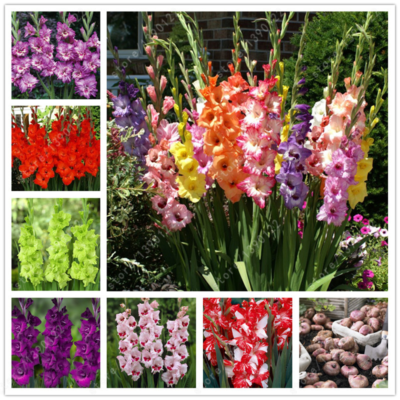 True gladiolus bulbs gladiolus flower gladiolus seed for Beautiful flowers to plant in your garden