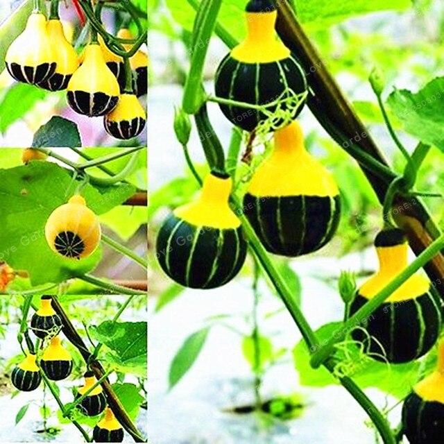 10 piezas de calabaza Bonsai raro chino arcoíris bombilla vegetal Bonsai hierba Mini Bonsai maceta planta fácil de cultivar para jardín