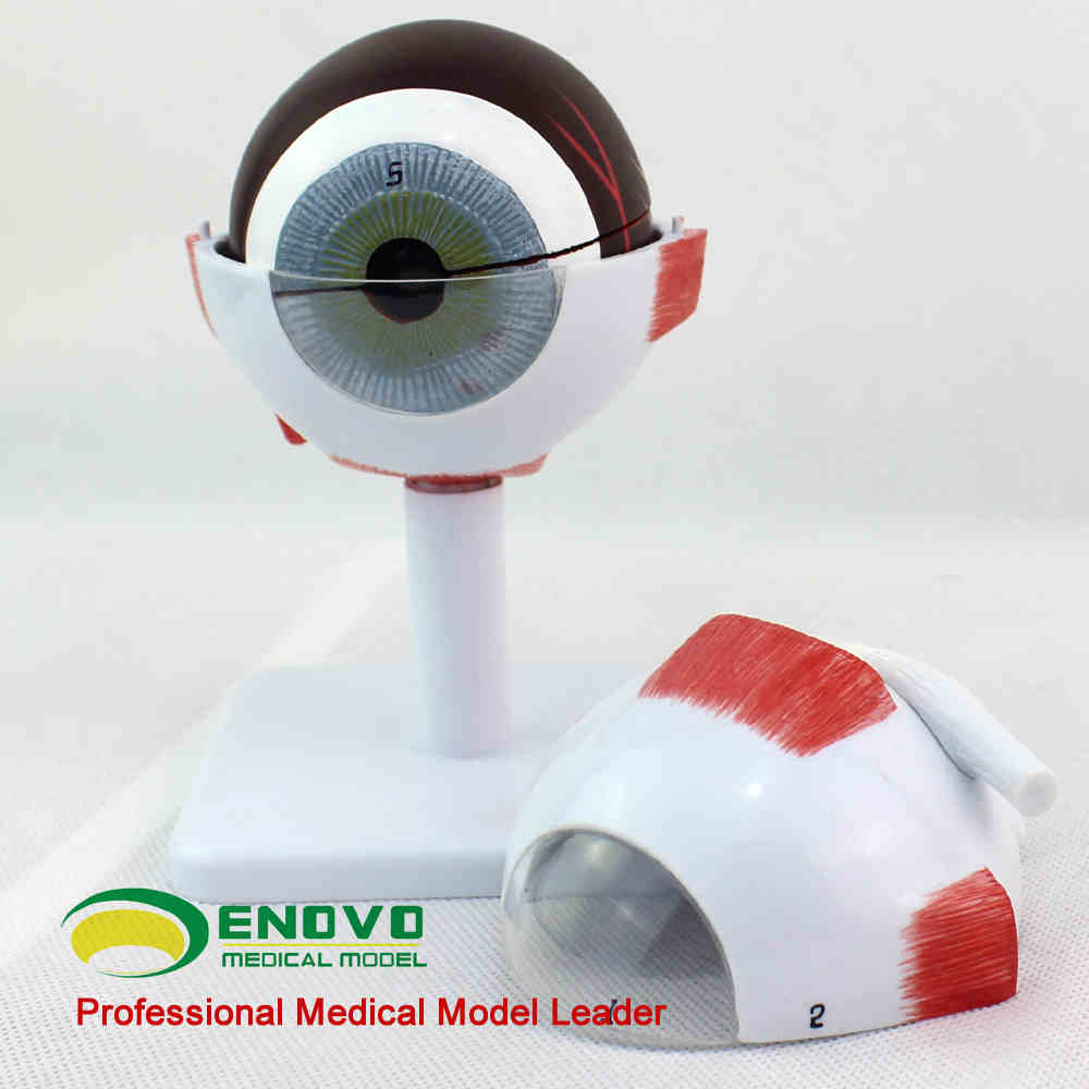 Online Shop Eyeball anatomy model 3 parts 6 fold magnification eye ...