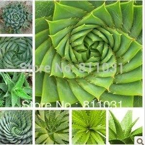 Hot selling 5pcs Aloe seeds Succulent Plants bonsai seeds DIY home garden