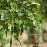 2017 Real Top Fashion Outdoor Plants Summer Seeds Authentic Tree Seeds Seed Dalbergia Hainan Pear Sandalwood Female 0.2kg/lot