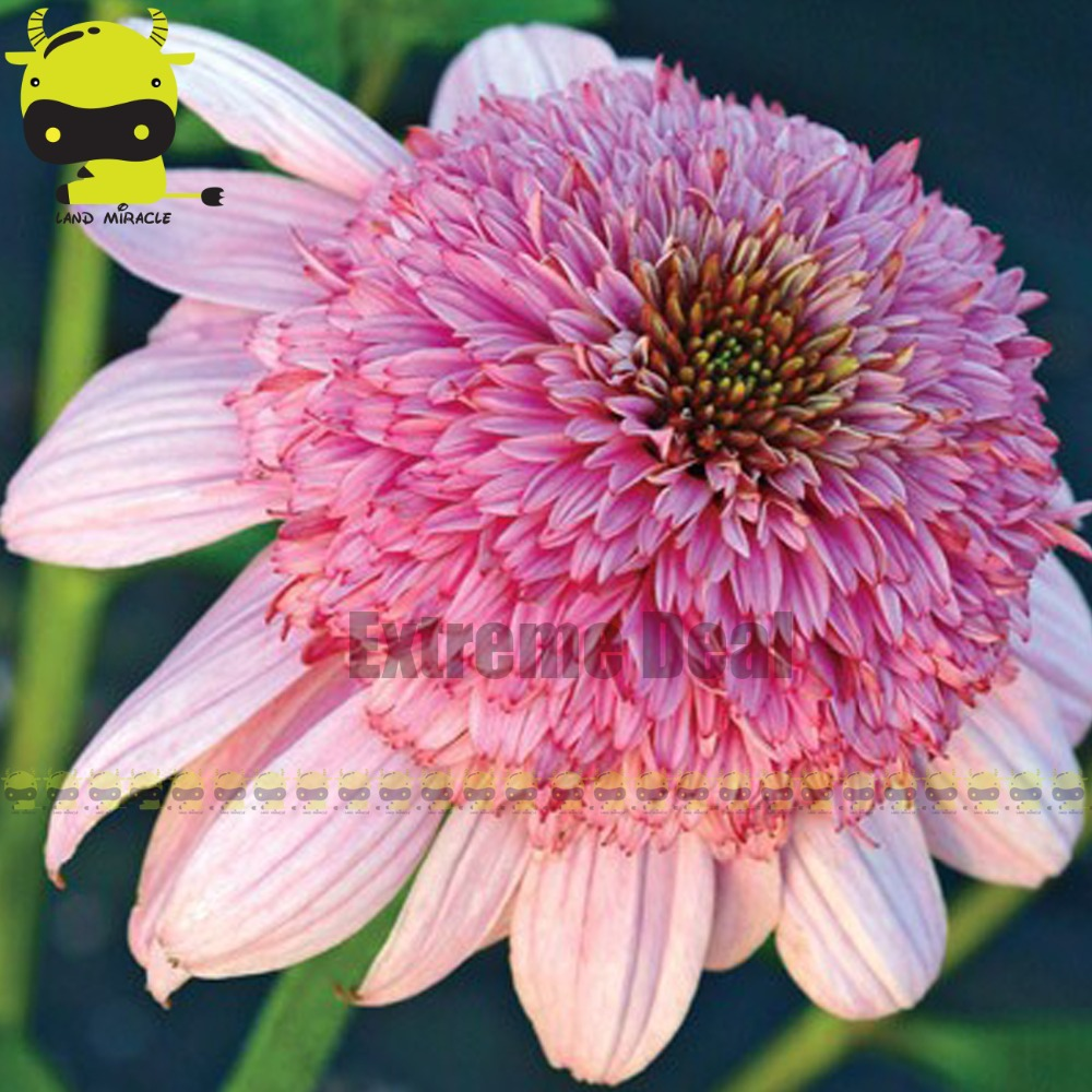 100 True Fluffy Bear Giant Pink Coneflower Flower Seeds 100