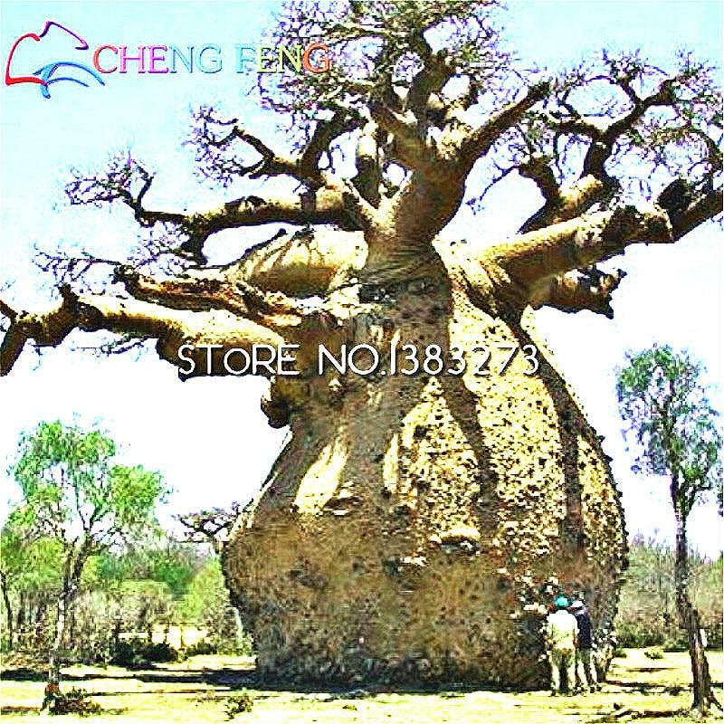 Baobab tree bonsai reviews online shopping baobab tree for Baobab jardin