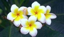Frangipani Seeds, Plumeria Rubra Seeds, 50pcs/pack